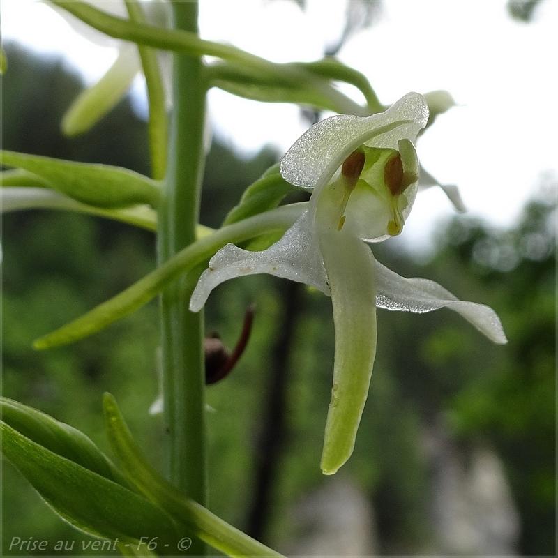 Platanthera chloranta - 4