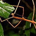 Phanocloidea muricata (femelle adulte)