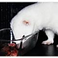 Alimentation : alimentation du furet