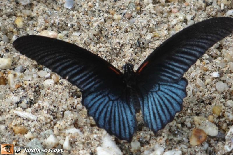 Papilio memnon (♂) • Papilionidae • Thaïlande