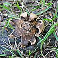 Geastrum sessile (1)