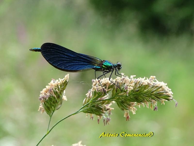 colopteryx