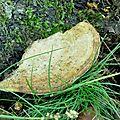 Daedalea quercina (1)