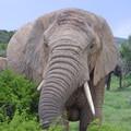 (94) La balade des éléphants
