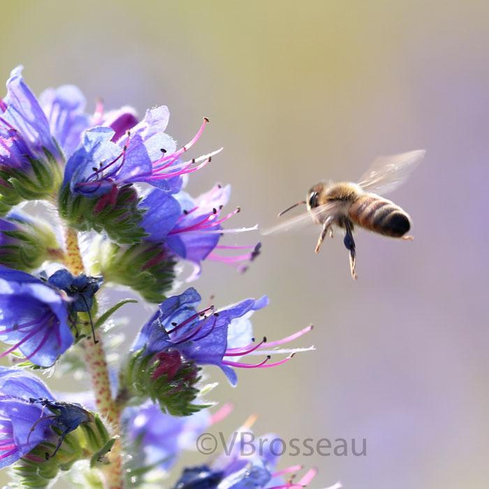 abeille04
