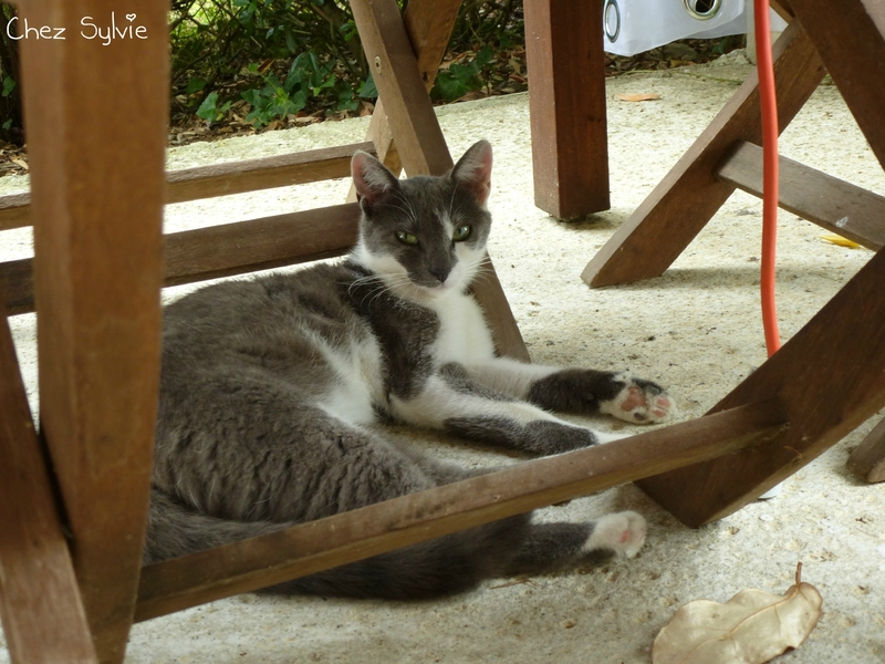 Chat gris07
