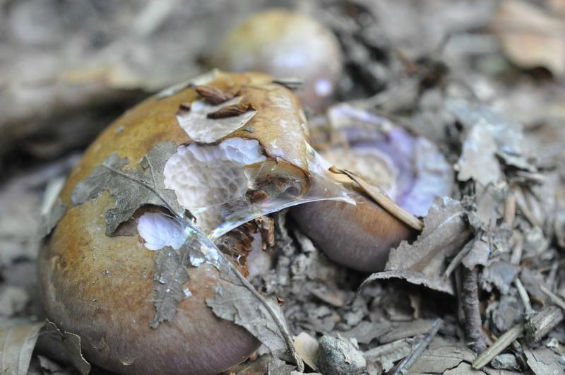 Cortinarius camphoratus