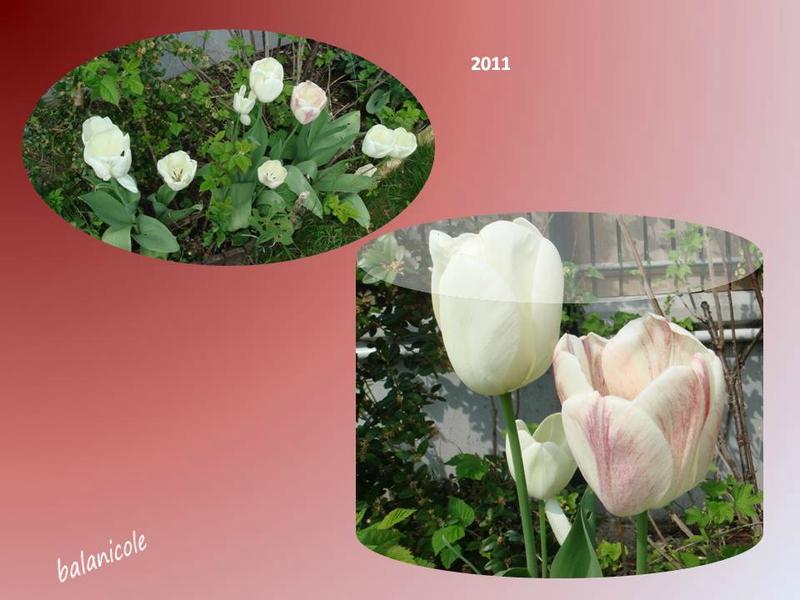 2011_08_tulipesblanches