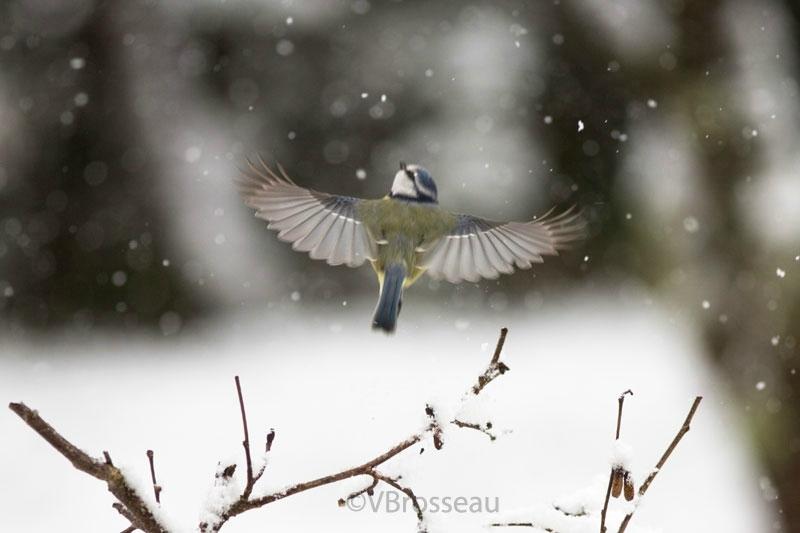 neige-mésange-bleue18-05