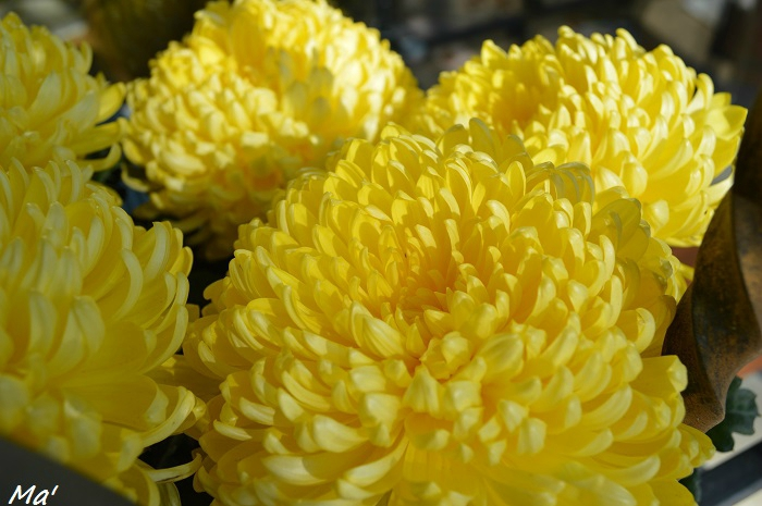 151101_chrysanthème