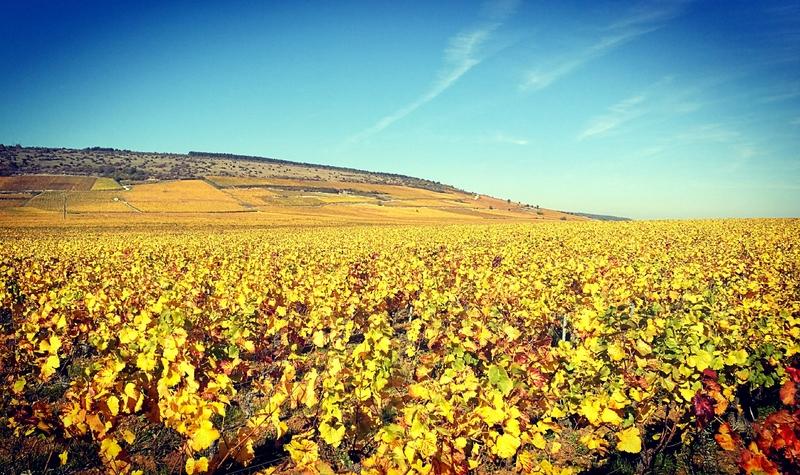 Nuits-Saint-Georges, vignes