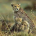 famille-guepard