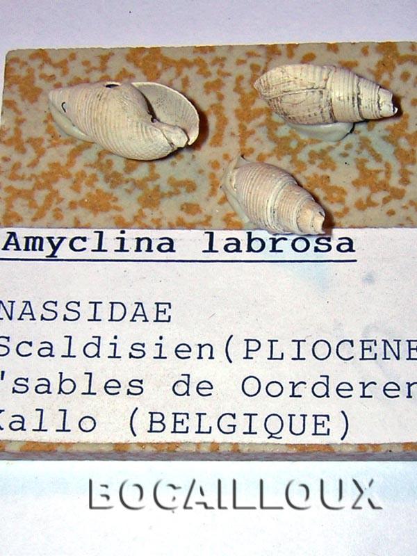 AMICLINA LABROSA BELGIQUE.KALLO
