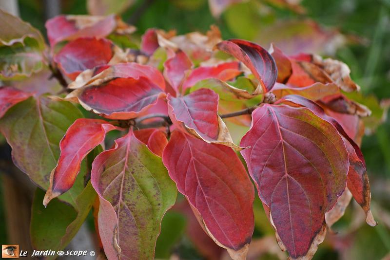 Cornus-Venus-en-automne