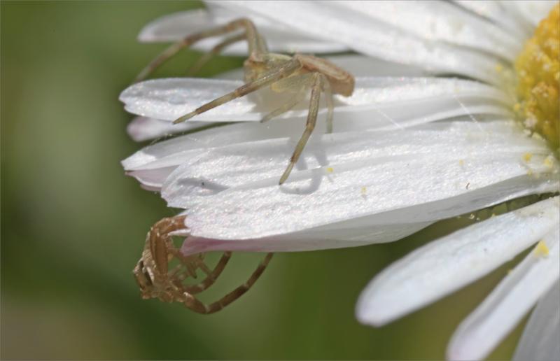 SM pâquerette deux araignées 110420 13 ym