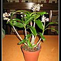 Dendrobium kingianum var. silcockii (dendrobium rainbow winter beauty)