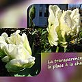 balanicole_2016_05_avril tulipes_26_chantilly