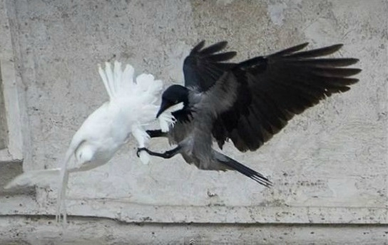 colombe_corbeau