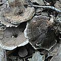 Hydnellum scrobitulatum (2)