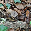 Pluteus cervinus (1)