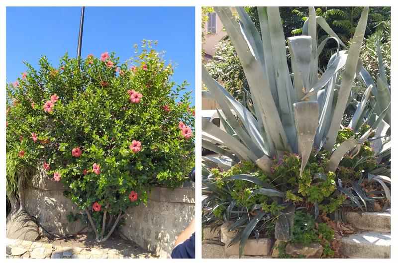 14 Aloe Vera