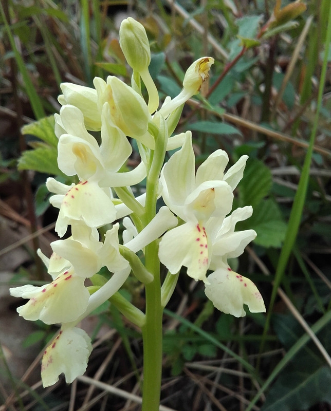 Orchis provincialis - i
