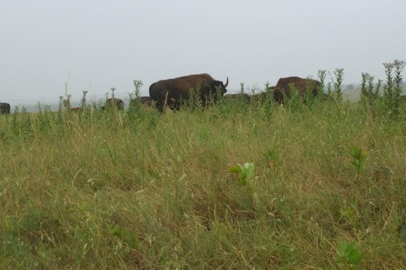 bison08
