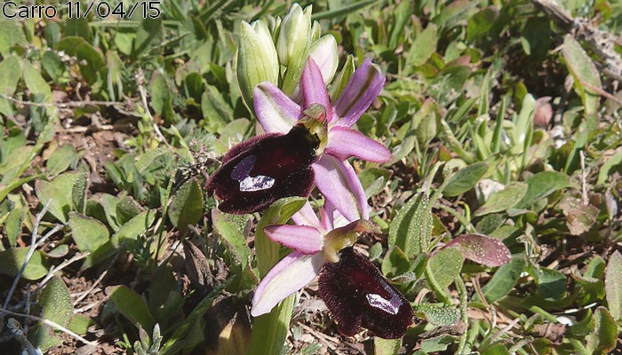 Ophrys d'Aurélien