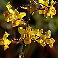 Cyrtopodium cristatum