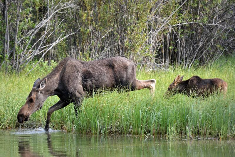 Moose 19