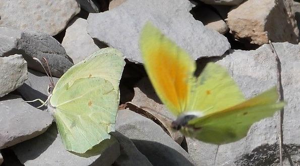 Citron-male et-femelle1