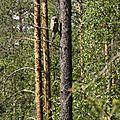 Strix nebulosa adulte_Finlande2011_XRu
