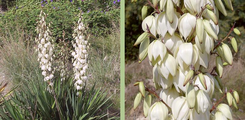 inflorescence allongée composée de grosses fleurs blanches
