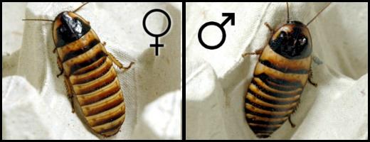 Elliptorhina javanica femelle et mâle