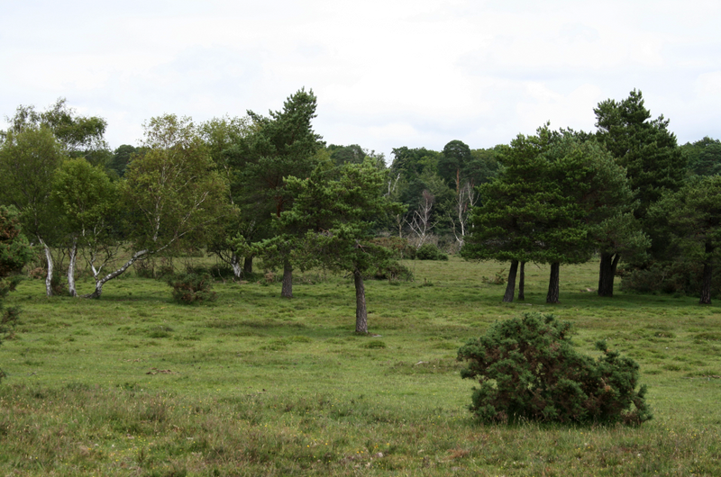New_Forest_3