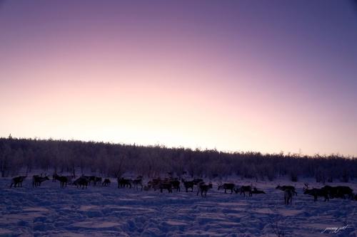 fin de journée avec les rennes