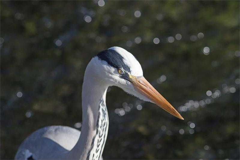 ville oiseau héron pêche 270319 ym 25