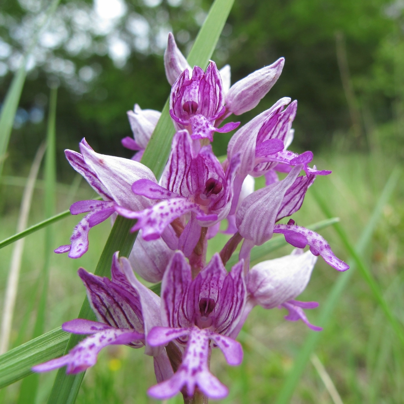 Orchis militaire - i