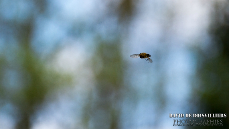 Syrphidae ou syrphides (ou syrphes)