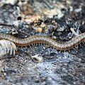 Chilopode ~ Mille-pattes • Geophilus flavus • Famille des Geophilidae