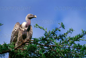 vautour_3
