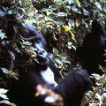 gorille mange 5