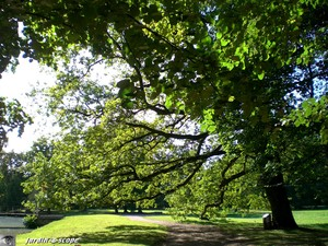 Chêne Quercus