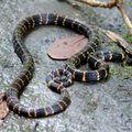Micrurus psyches : serpent corail