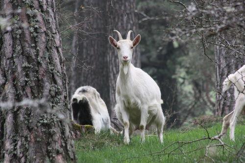 2009 04 21 Chèvres et chevreaux à Montgiraud (7)