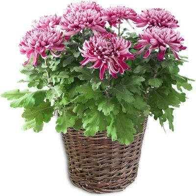 plante-en-pot-chrysantheme-mauve_16478