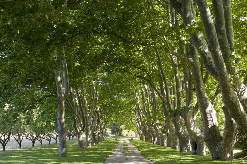 allee-de-platanes-entree-royale-pour-un-jardin-de-vignoble-32-jpg