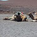 chameaux (2)
