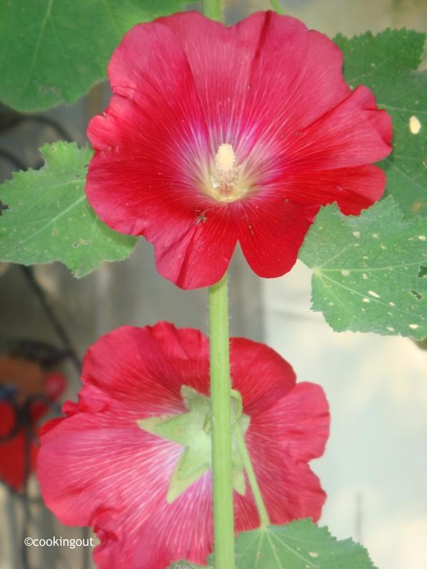 Rose trèmière