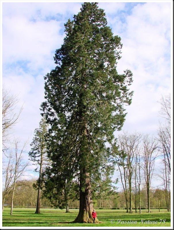 Le séquoia (9)